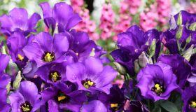Lisianthus in Gorgeous Purple